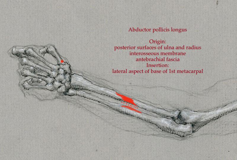 Anatomy Diagrams Arm And Hand Robert Liberace